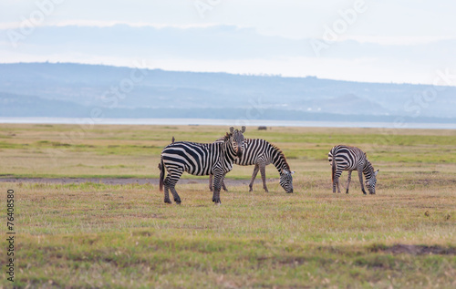 Papiers peints Zebra Herd of wild zebras