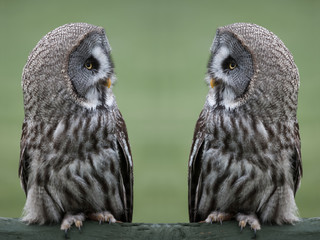 Great grey gray owls
