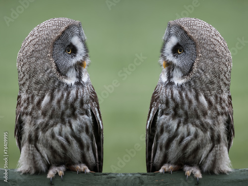 Keuken foto achterwand Uil Great grey gray owls