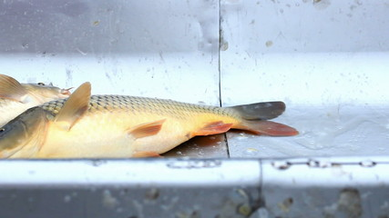 Carp from the fish farm