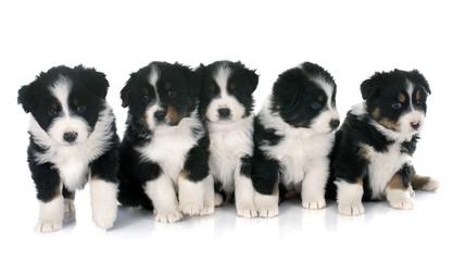 puppies australian shepherd