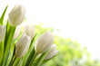 White Tulips - 76412500