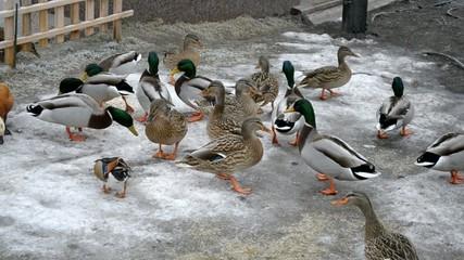 Flock of ducks being fed in Mezhyhirya in January 2015