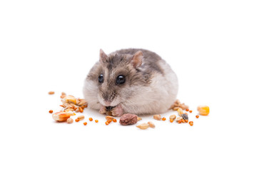 hamster small  eats grain in front of a white background