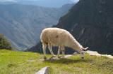 Lama in Machu Picchu ruins