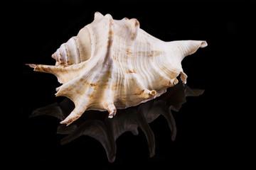 Muschel mit schwarzem Hintergrund und Spiegelung
