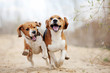 Two funny beagle dogs running - 76417919