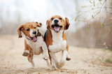Fototapety Two funny beagle dogs running