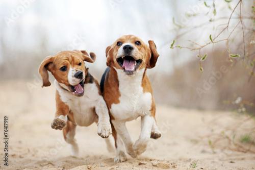 Leinwandbild Motiv Two funny beagle dogs running