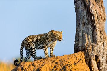 Leopard Bahati in the golden light of sunrisein Masai Mara
