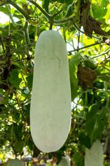 Fresh vegetable marrow in a vegetable garden