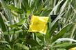 Flor Oenothera amarilla