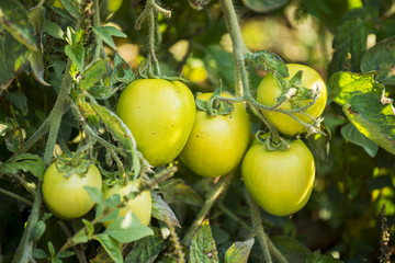 Green Tomatoes in a organic garden