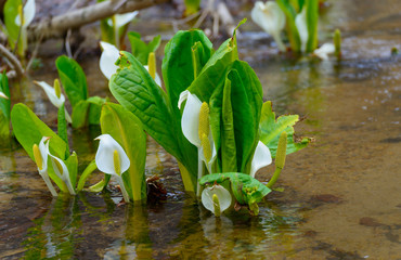 Asian skunk-cabbage