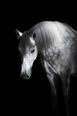 Grey horse on the black background