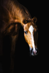 Golden red horse on the black background