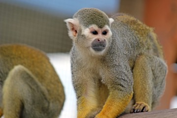 a beautiful squirrel monkey