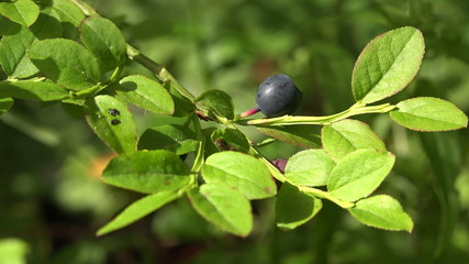 Blueberry Bush in the forest. 4K.