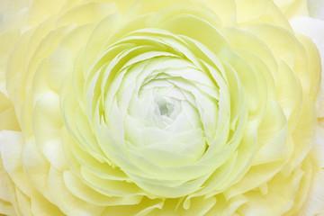Variegated camellia in full bloom