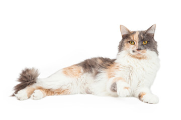 Calico Cat Lifting Paw Up