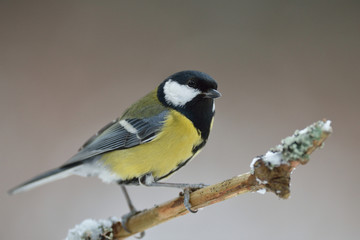 Great tit on branch at winter