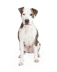 Friendly and Cute Pit Bull Dog