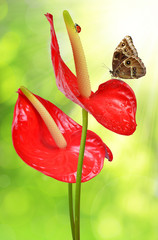 Red anthurium with butterfly on green natural background