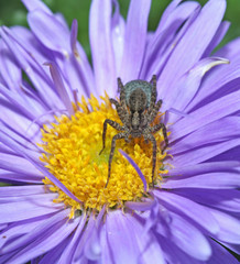 Grey spider sitting on a purple flower