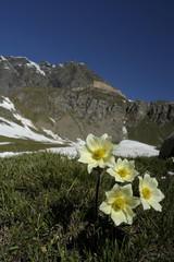 fioritura alpestre