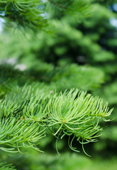 Young shoots on the branches of spruce, close-up