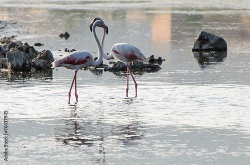 Fotobehang Flamingo fenicottero