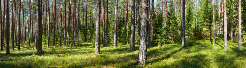 Summer forest panorama © Dmitry Naumov