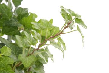 Branche de lierre