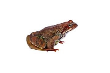Big forest frog isolated