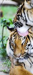 momenti di tenerezza fra tigri