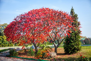 Huge tree with red leaves. autumn trees