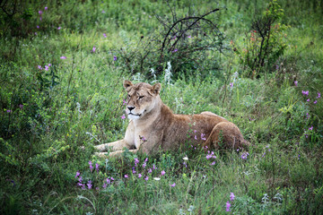 lioness relaxing in the grass in the Safari Park Taygan, Crimia