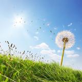 Fototapeta Sommer, Sonne und Pusteblume