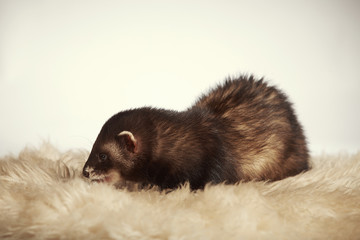 Nice dark ferret