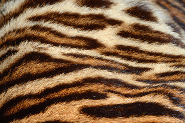 fur of bengal tiger