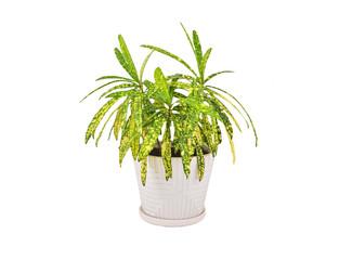 Croton (Codiaeum variegatum), isolated on white