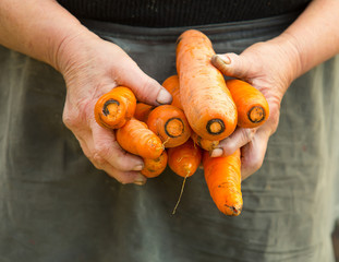 carrots pulled from the vegetable garden in old woman hands