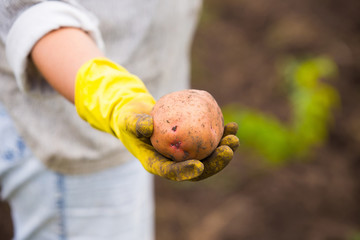 Hands in gloves holding big dirty harvested potatoes