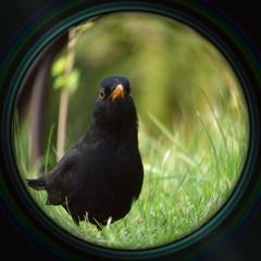 Blackbird in objective lens