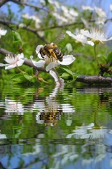 Bee on flower on tree branch with water refections