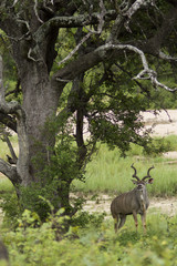 Iconic Kudu bull in African bush