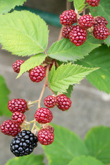 Bunch of Blackberries