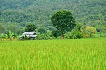 Hut of Green Rice field