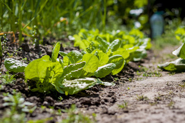 Detail of lettuce crop line growing in the ground