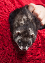 Young ferret on white background